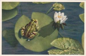 Frog Sitting On White Water Lily Flower
