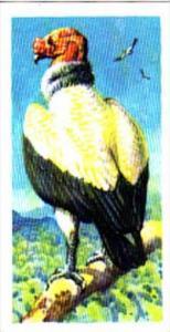 Brooke Bond Trade Card Tropical Birds No 30 King Condor