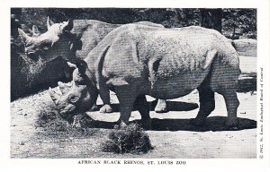 African Black Rhinos      St Louis Zoo