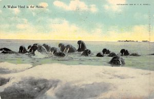 Seals Walrus Herd in the Arctic Writing on back