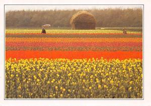Netherlands Zuid Holland Bloembollenvelden Flowers Auto Car