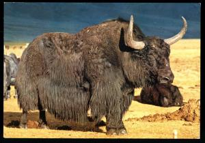 YAK BULL Zabhan Aimak MONGOLIA Real Photo MNR Postcard