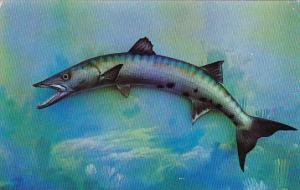 Barracuda Tiger Of The Sea Found In South Florida