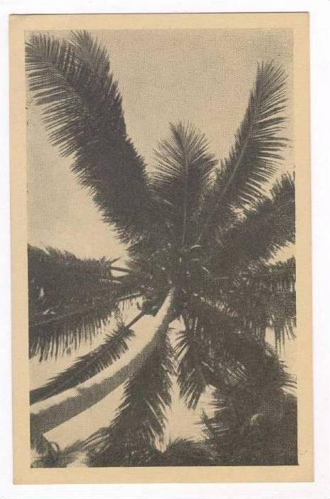 South Pacific, 30-40s  Coconut tree