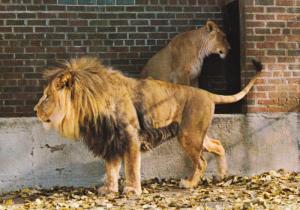 The Calgary Zoo, St. George's Island, African Lions, Boy and Cindy, Calgary, ...