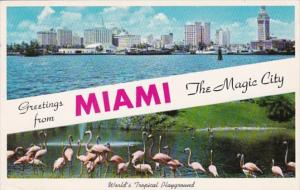 Florida Greetings From Miami With Skyline and Flamingos At Parrot Jungle 1959