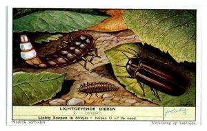 Glow Worms Lampyris, Luminous Animals Liebig Belgian Trade Card *VT28A