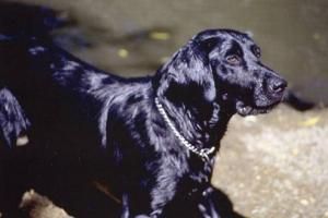 Dog - Black Lab Mix