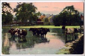 Cows in Water