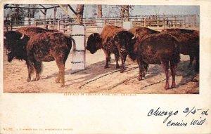 Buffalo Post Card Buffalo in Lincoln Park Zoo Chicago, Illinois, USA Unused