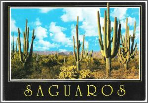 Arizona Saguaros Postcard