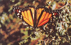 P1781 vintage king of butterflies the monarch