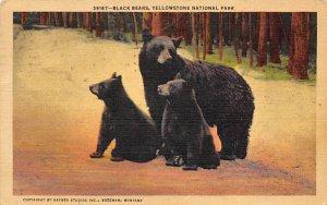 Bear Post Card Black Bears Yellowstone National Park, WY, USA 1954