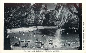 St Louis MO~Zoo~Swans & Ducks, Probably Geese, Too~Water Fowl 1940s Postcard