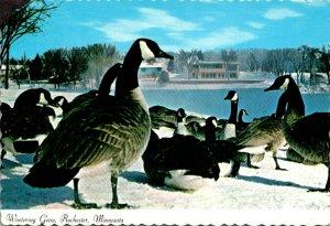 Minnesota Rochester Wintering Geese