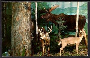 Deer,Moose,Henkelmann'S Museum and Gift Shop,Woodruff,WI