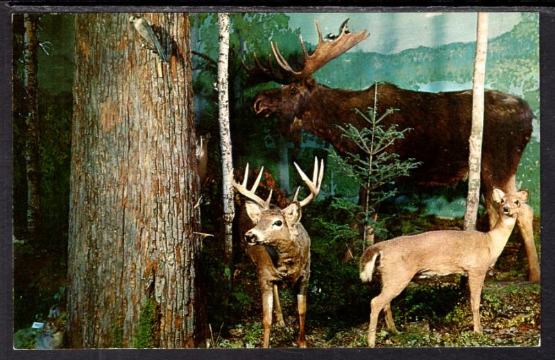 Deer,Moose,Henkelmann'S Museum and Gift Shop,Woodruff,WI