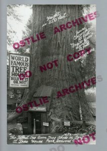 Percy CALIFORNIA RPPC c1950 ROADSIDE World Famous Tree House REDWOOD TREE