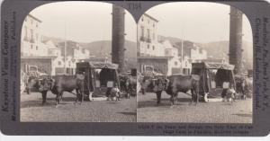 SV: 1910s ; Ox Team & Sled , FUNCHAL , Madeira Islands , Portugal