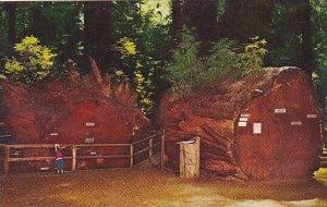 California Richardsons Grove State Park Redwood Tree Fallen Giant