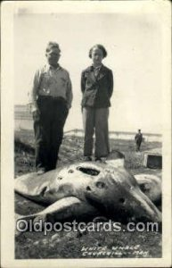 White Whale Churchill, Man Canada Real Photo Unused crease right top corner, ...