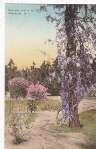 North Carolina Pinehurst Wisteria And A Judas Tree Albertype