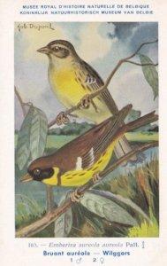 Yellow Breasted Bunting Emberiza Aureola WW2 Bird Rare Postcard