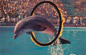 California Marineland Of The Pacific Porpoise Jumping Through Circle Of Flame