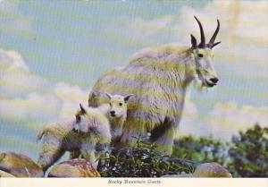 Rocky Mountain Goats