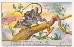 Liebig Trade Card S1571 Marsupials No 4 Sariga dorsigera