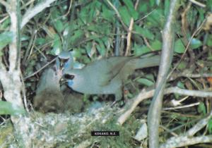 Kokako Callaeas Blue Wattled Crow New Zealand Bird Postcard