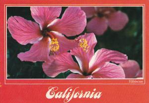 Hibiscua In Bloom California