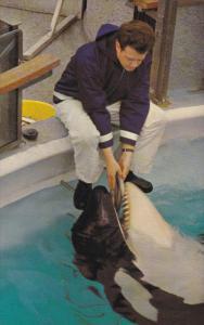 Feeding SKANA the Killer Whale , Aquarium , Stanley Park , VANCOUVER , B.C....