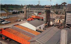 Southern California~Oranges at Processing Plant~18-Wheeler Freight Trucks 1950s