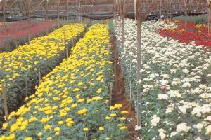 Malaysia Cameron Highlands You Land Nursery (Chrysanthemun flower farm)