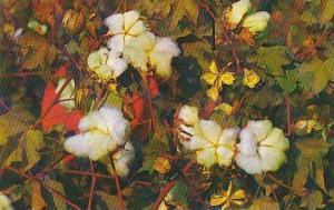 Louisianna Lovely Cotton Balls