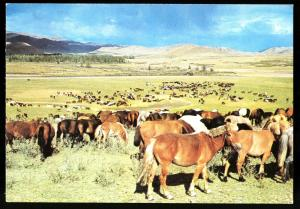 Horses grazing on grass lands Aimak MONGOLIA Real Photo MNR Postcard