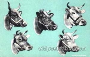 Dairy, Cow Cows, Postcard Post Card