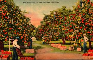 Louisiana Picking Oranges In New Orleans
