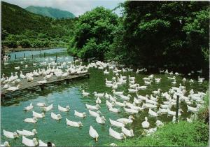 Duck Pond Ducks New Territories China Greetings from Hong Kong Postcard F6