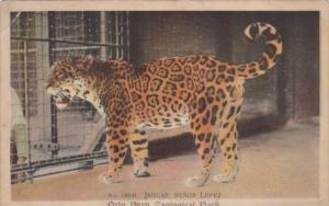 Jaguar Senor Lopez New York Zoological Park 1910
