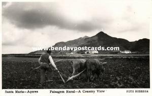 portugal, Azores Acores, SANTA MARIA, Ploughing Bull Cow (1950s) RPPC