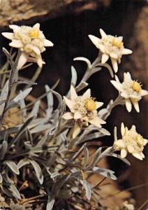 Switzerland Leontopodium Alpinum Cass. Edelweiss, Pied de Lion Fleurs