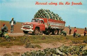 TX, Rio Grande Valley, Texas, Harvesting Cabbage, Dexter No.  38653-B