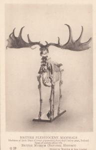 Skeleton Of An Irish Deer Giant Antlers Antique London History Museum Postcard