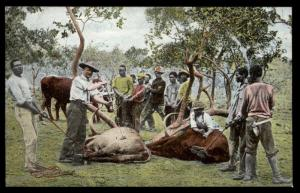 Germany ca1905 SW Africa Branding Cattle DSWA View Card 88745