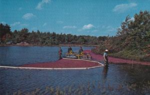 Harvesting Cranberries, CAPE COD, Massachusetts, 40-60's