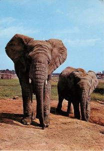 Elephants African Safari Park Parc Africain Hemmingford Montreal Quebec Postcard