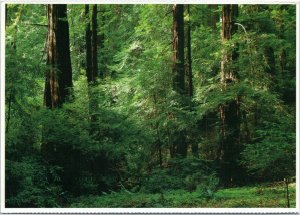 Muir Woods National Monument - Redwood trees - California postcard
