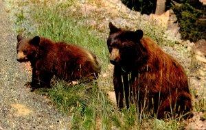 California Sequoia & Kings Canyon National Parks American Black Bear 1955